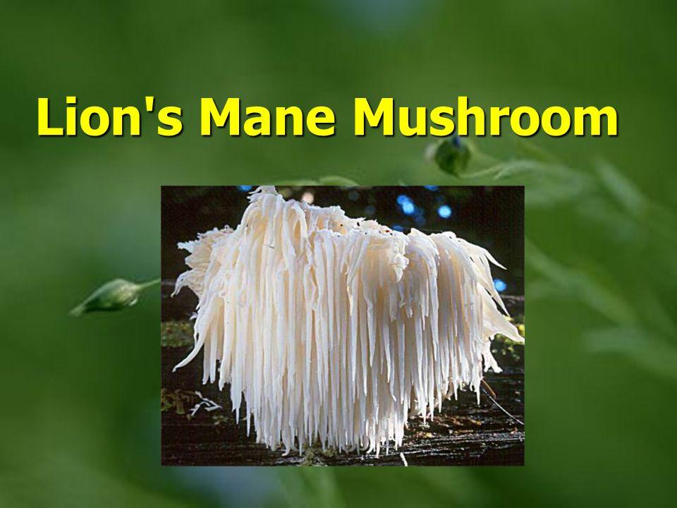 Lion s Mane Mushroom