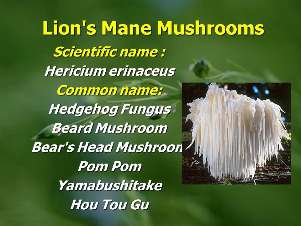 Lion s Mane Mushrooms Scientific name : Hericium erinaceus