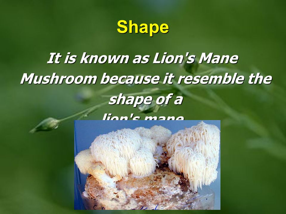 It is known as Lion s Mane Mushroom because it resemble the shape of a