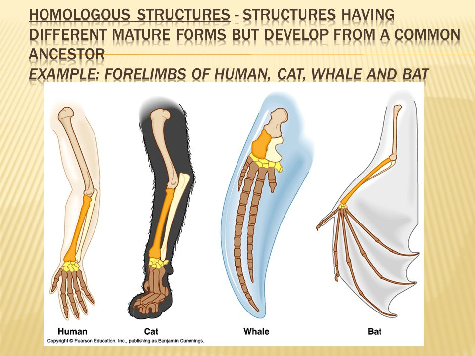 Homologous Structures - structures having different mature forms but develop from a common ancestor Example: forelimbs of human, cat, whale and bat