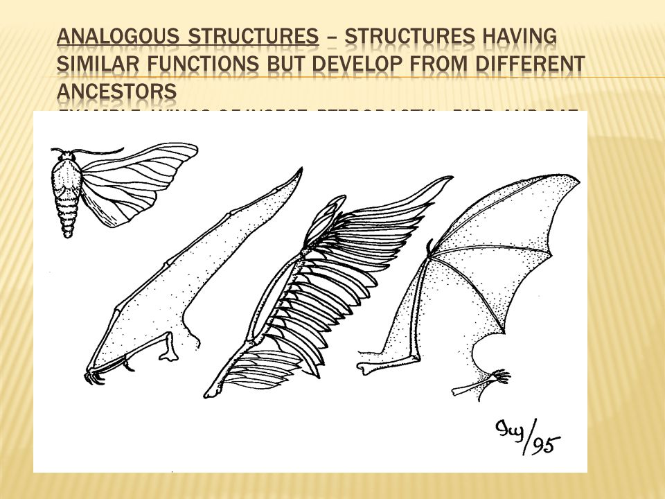 Analogous Structures – structures having similar functions but develop from different ancestors Example: wings of insect, pterodactyl, bird and bat