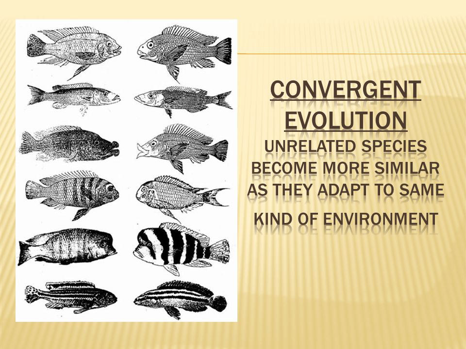 Convergent Evolution unrelated species become more similar as they adapt to same kind of environment