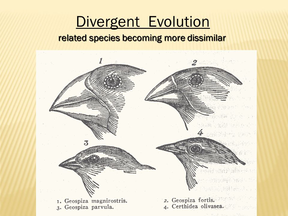 Divergent Evolution related species becoming more dissimilar