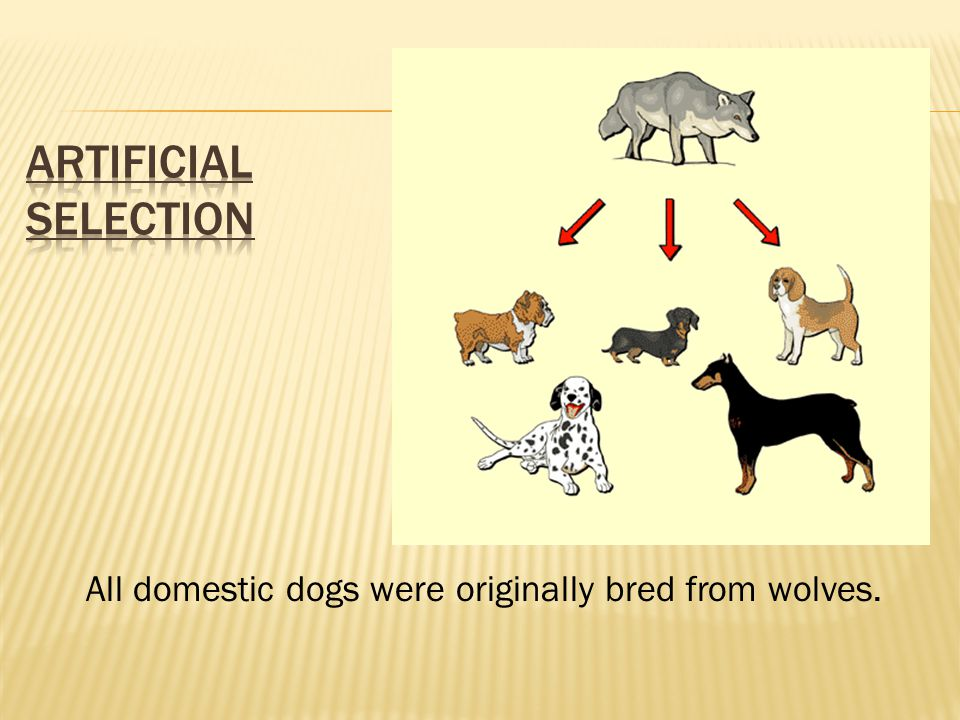 Artificial Selection All domestic dogs were originally bred from wolves.