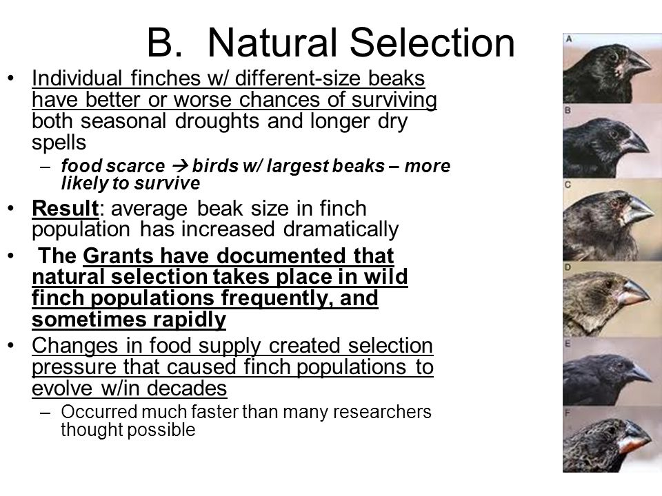 B. Natural Selection