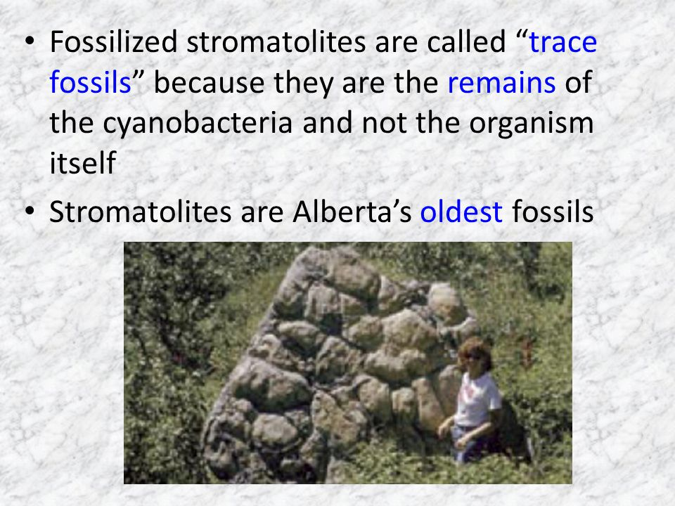Fossilized stromatolites are called trace fossils because they are the remains of the cyanobacteria and not the organism itself