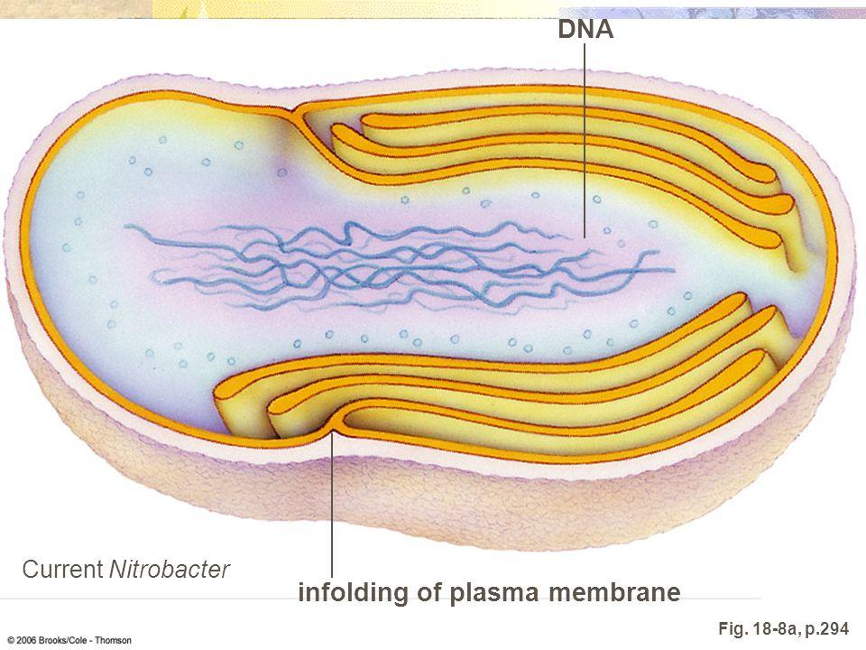 infolding of plasma membrane