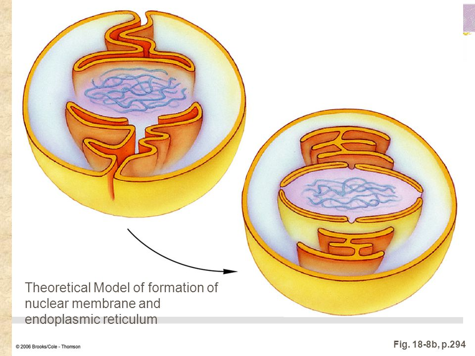 Theoretical Model of formation of nuclear membrane and endoplasmic reticulum