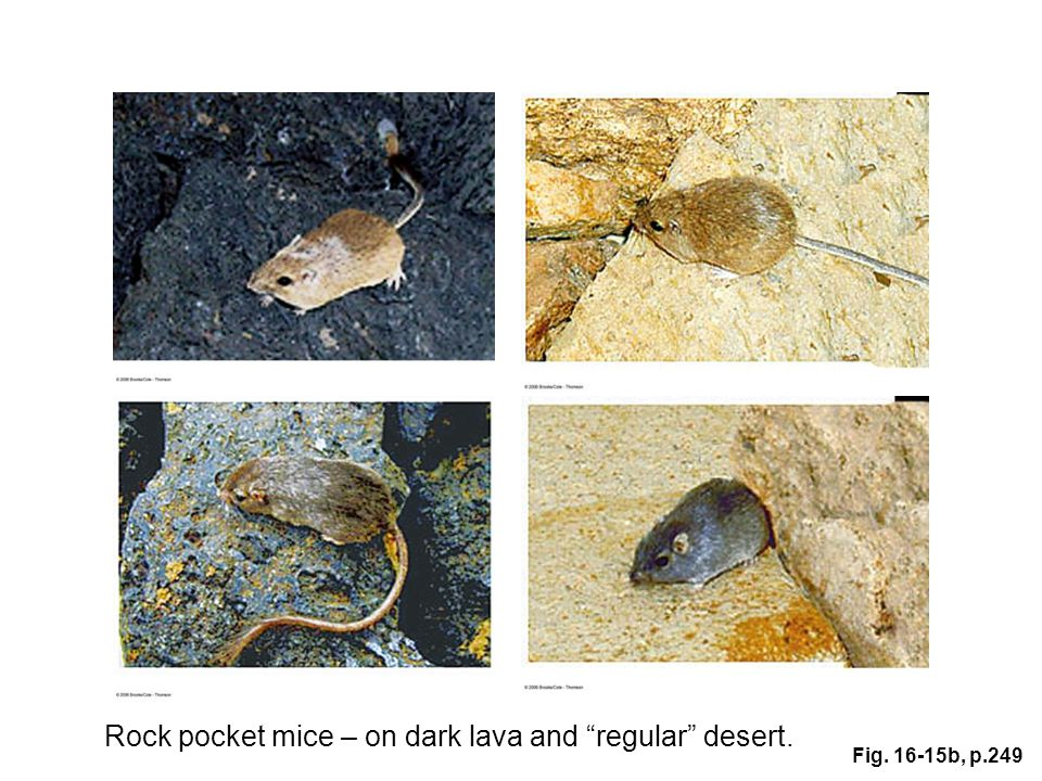 Rock pocket mice – on dark lava and regular desert.
