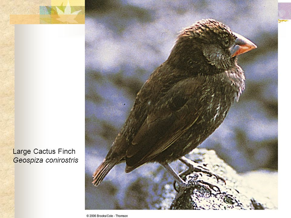 Large Cactus Finch Geospiza conirostris