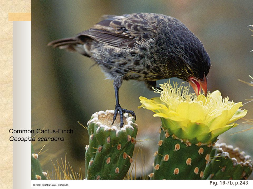 Common Cactus-Finch Geospiza scandens