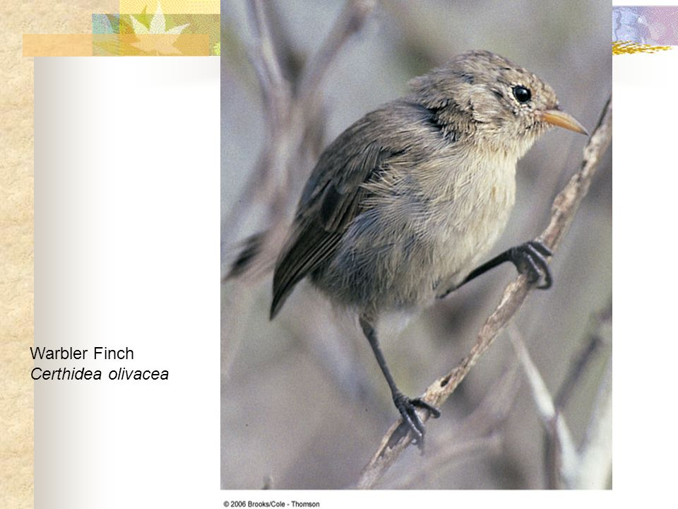 Warbler Finch Certhidea olivacea
