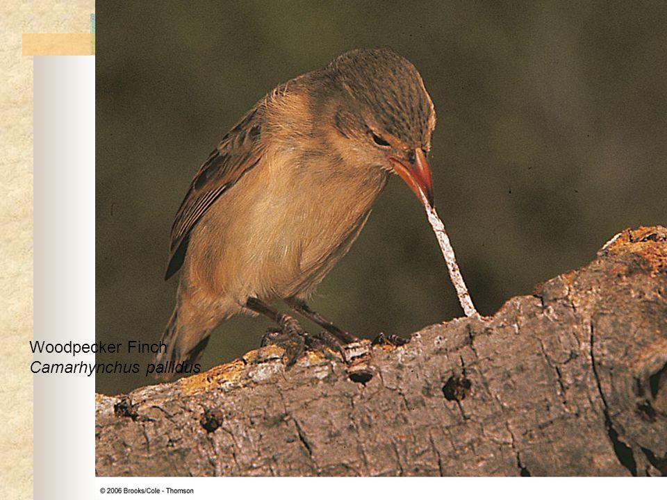 Woodpecker Finch Camarhynchus pallidus
