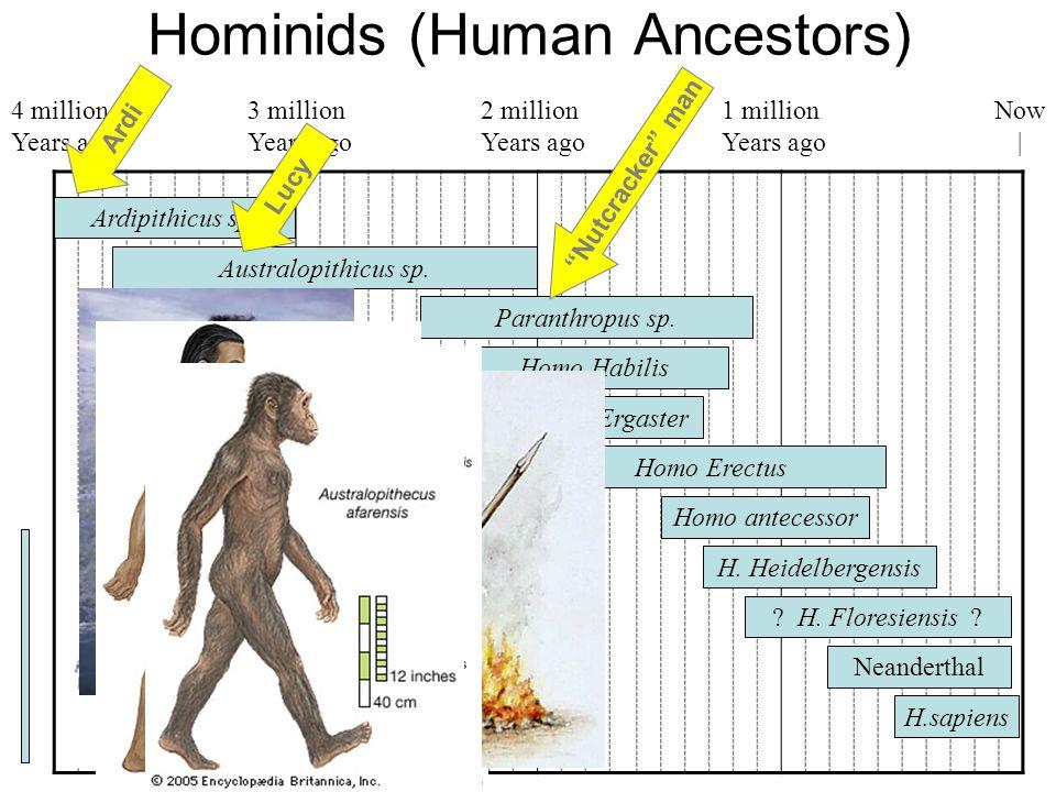 Hominids (Human Ancestors)