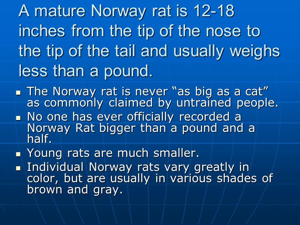 A mature Norway rat is 12-18 inches from the tip of the nose to the tip of the tail and usually weighs less than a pound.