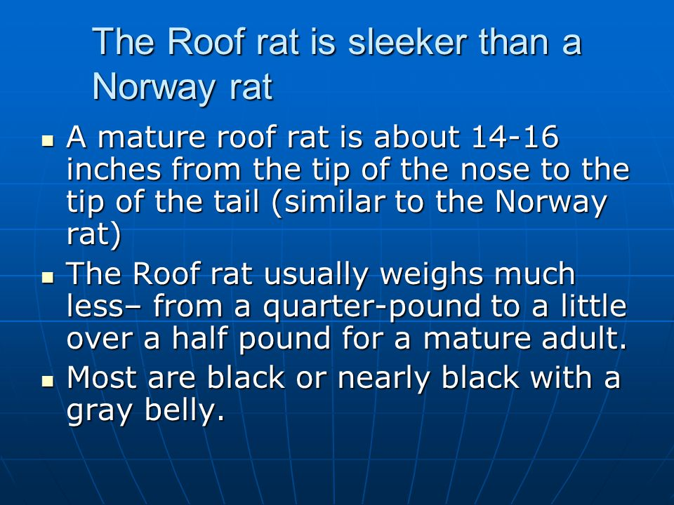 The Roof rat is sleeker than a Norway rat
