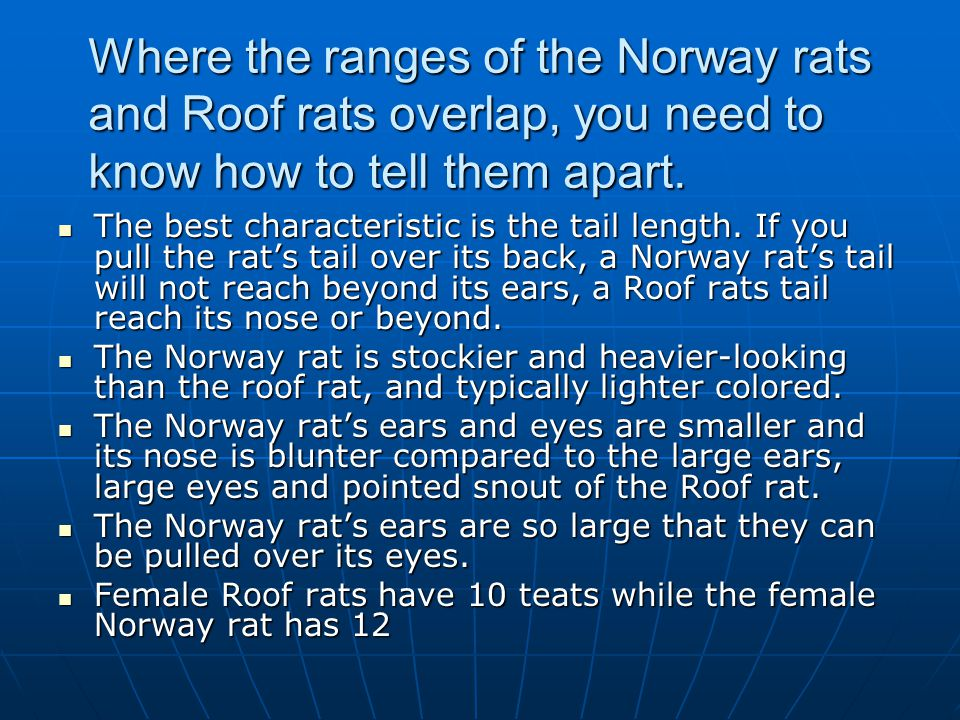 Where the ranges of the Norway rats and Roof rats overlap, you need to know how to tell them apart.