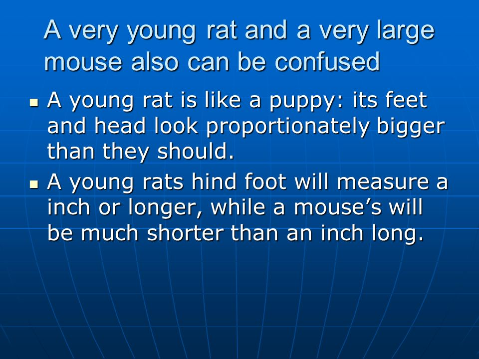A very young rat and a very large mouse also can be confused