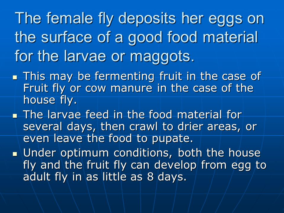 The female fly deposits her eggs on the surface of a good food material for the larvae or maggots.