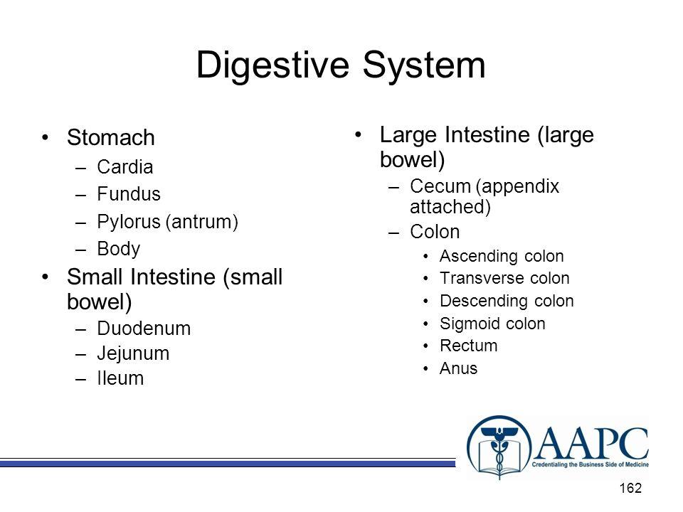 Digestive System Stomach Small Intestine (small bowel)