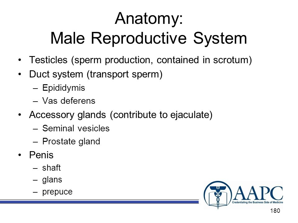 Anatomy: Male Reproductive System