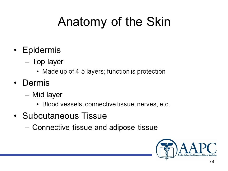 Anatomy of the Skin Epidermis Dermis Subcutaneous Tissue Top layer