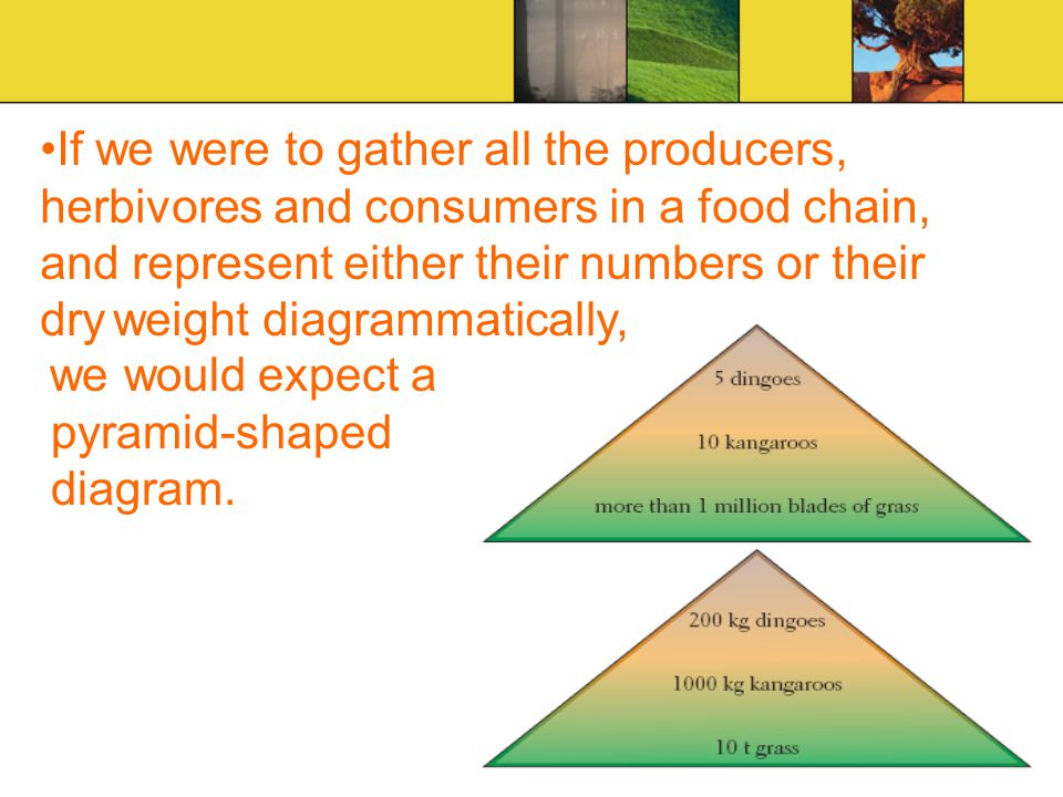 If we were to gather all the producers, herbivores and consumers in a food chain, and represent either their numbers or their dry weight diagrammatically,