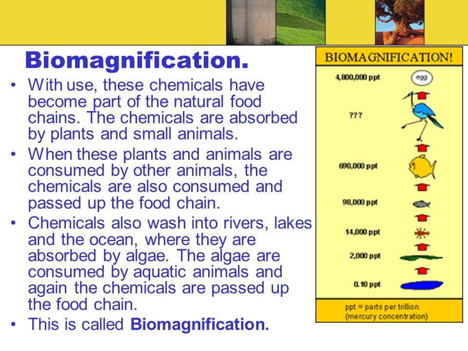 Biomagnification. With use, these chemicals have become part of the natural food chains. The chemicals are absorbed by plants and small animals.