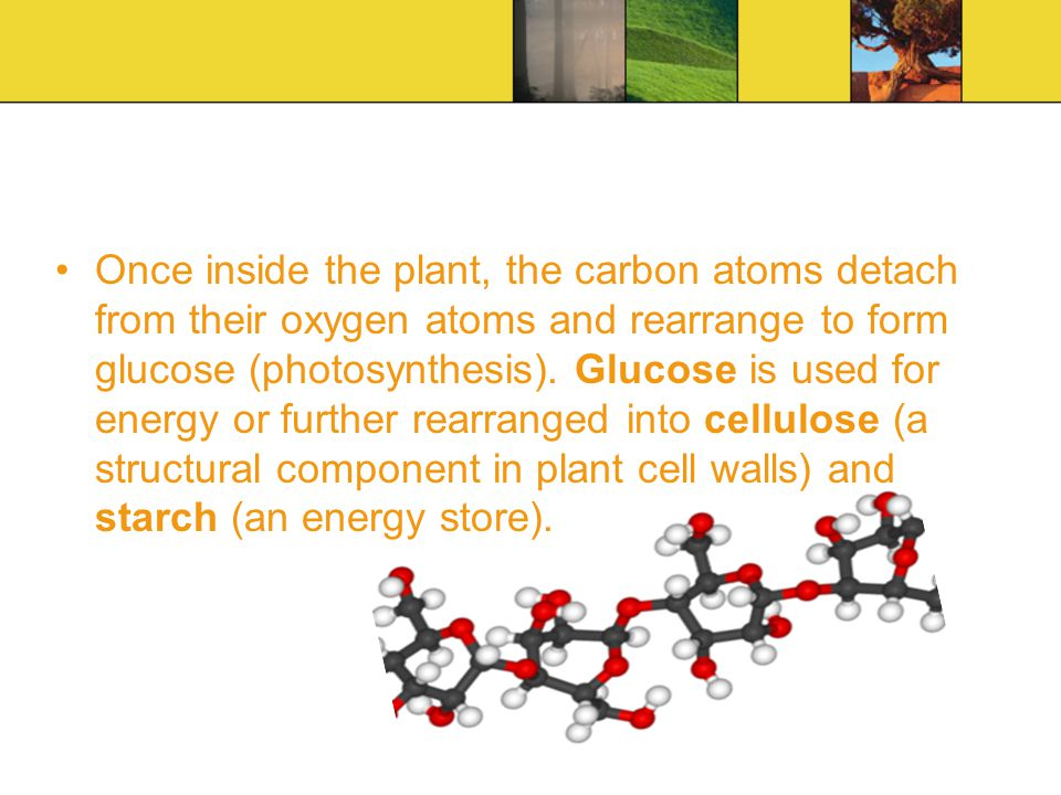 Once inside the plant, the carbon atoms detach from their oxygen atoms and rearrange to form glucose (photosynthesis).