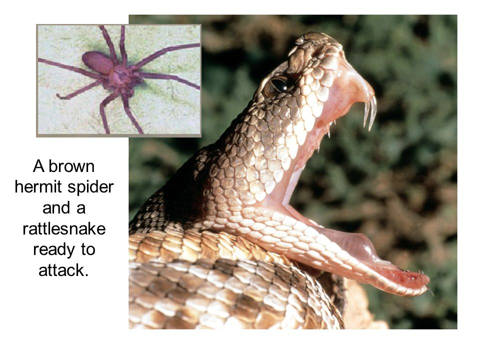 A brown hermit spider and a rattlesnake ready to attack.