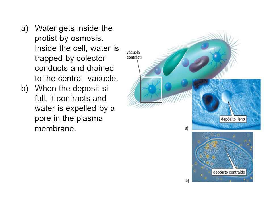 Water gets inside the protist by osmosis