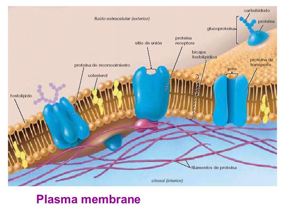Plasma membrane FIGURA 5-1 La membrana plasmática
