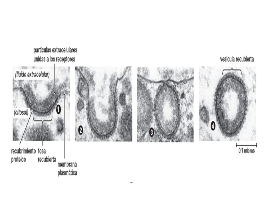 FIGURA 5-14 (parte 2) Endocitosis mediada por receptores