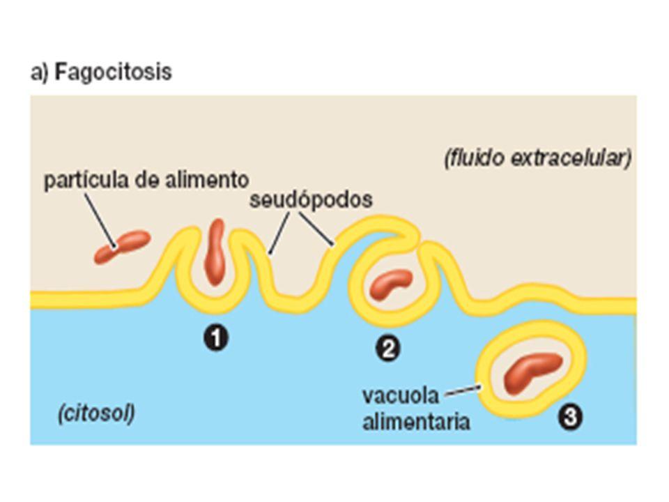 FIGURA 5-15a Fagocitosis