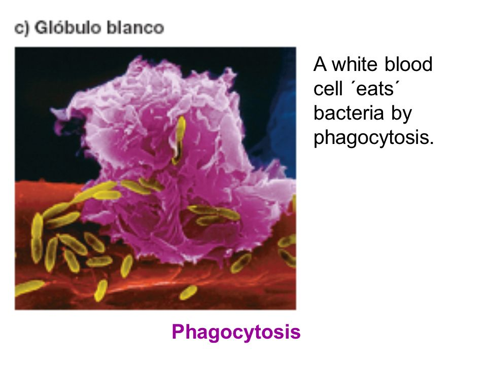 A white blood cell ´eats´ bacteria by phagocytosis.