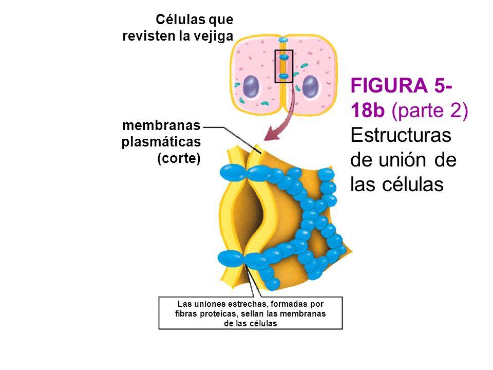 FIGURA 5-18b (parte 2) Estructuras de unión de las células