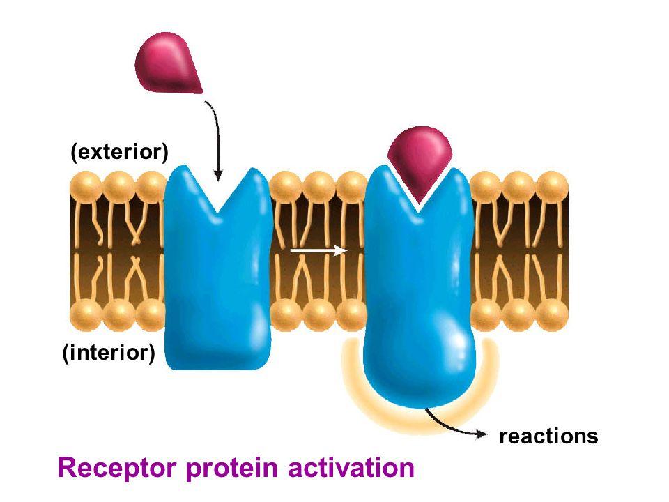 Receptor protein activation