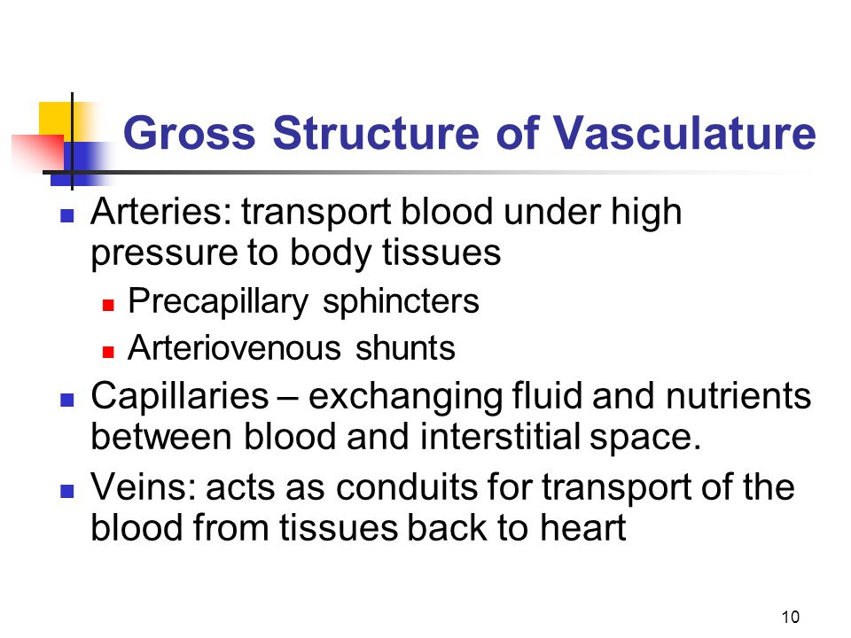 Gross Structure of Vasculature