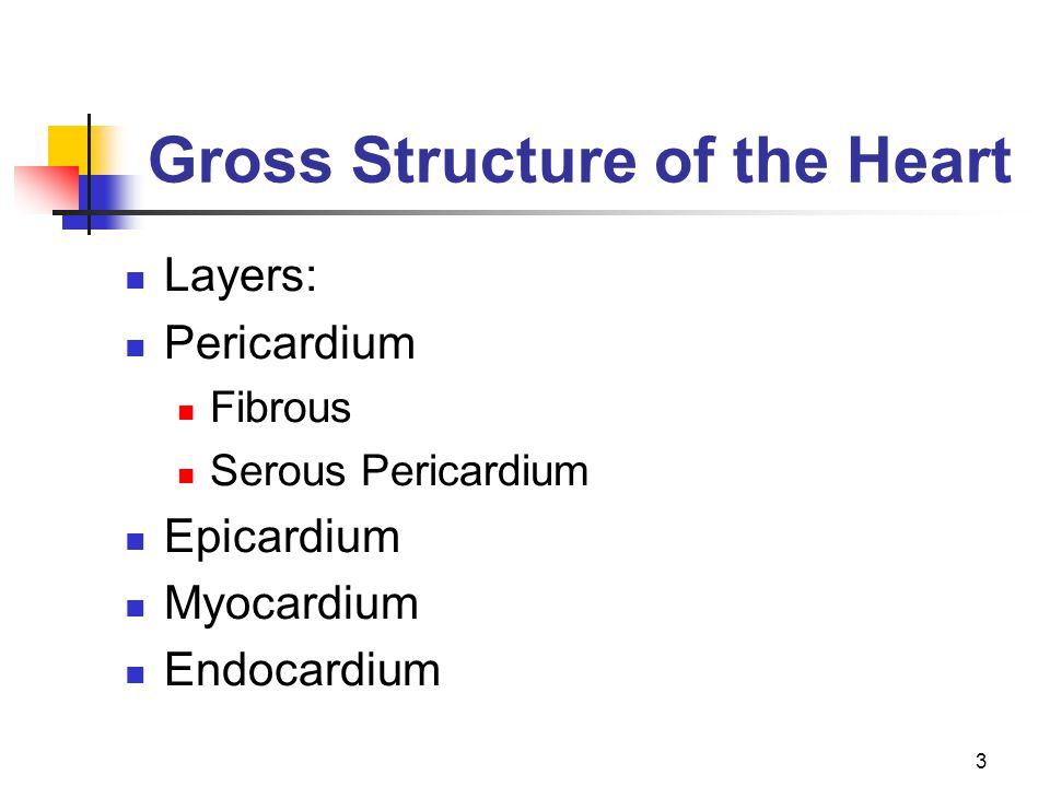 Gross Structure of the Heart