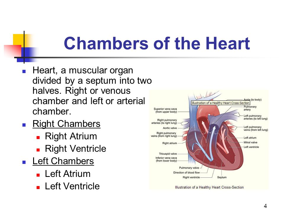 Chambers of the Heart Heart, a muscular organ divided by a septum into two halves. Right or venous chamber and left or arterial chamber.