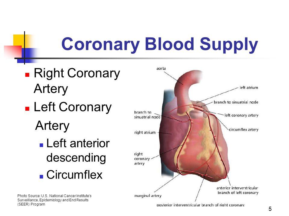 Coronary Blood Supply Right Coronary Artery Left Coronary Artery