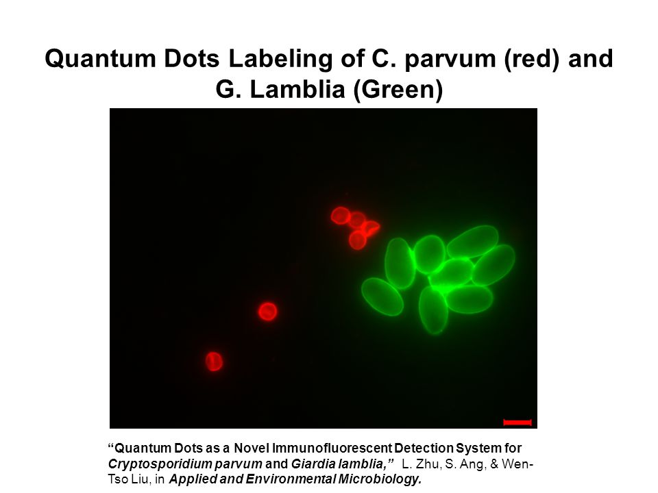 Quantum Dots Labeling of C. parvum (red) and G. Lamblia (Green)