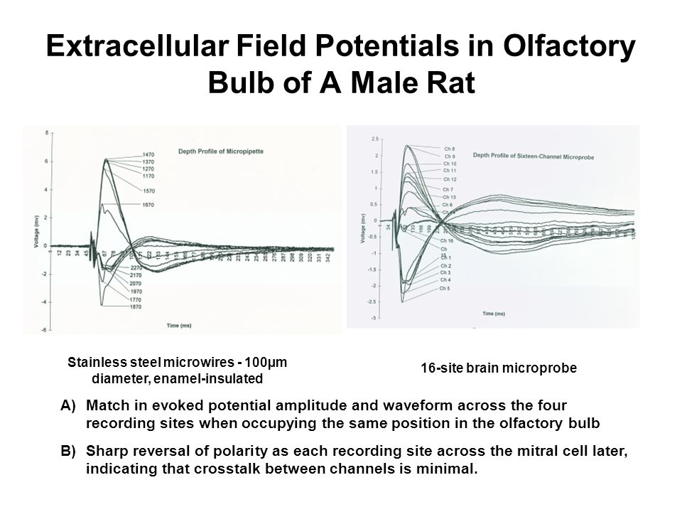 Extracellular Field Potentials in Olfactory Bulb of A Male Rat
