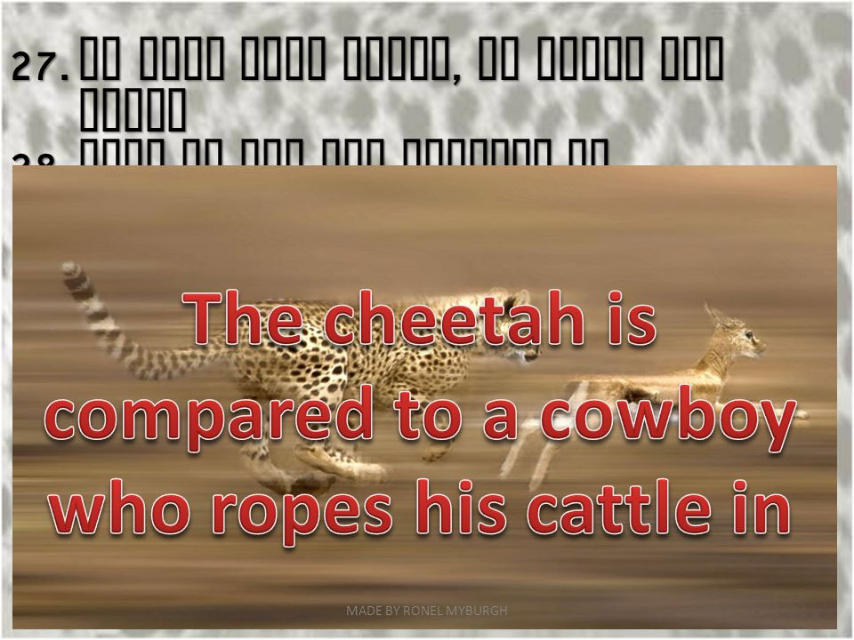 The cheetah is compared to a cowboy who ropes his cattle in