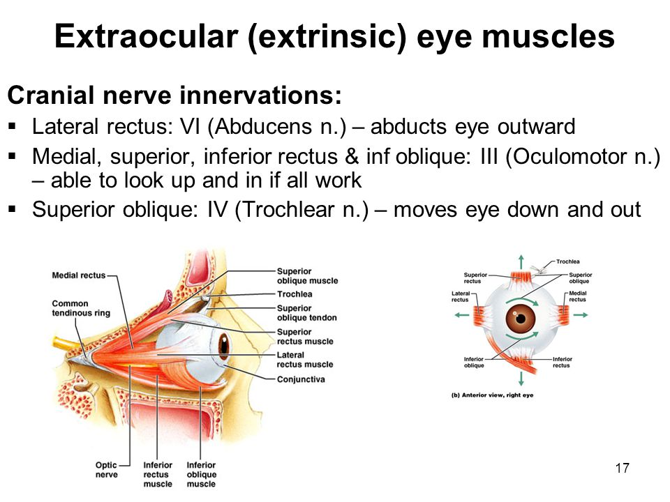 Extraocular (extrinsic) eye muscles
