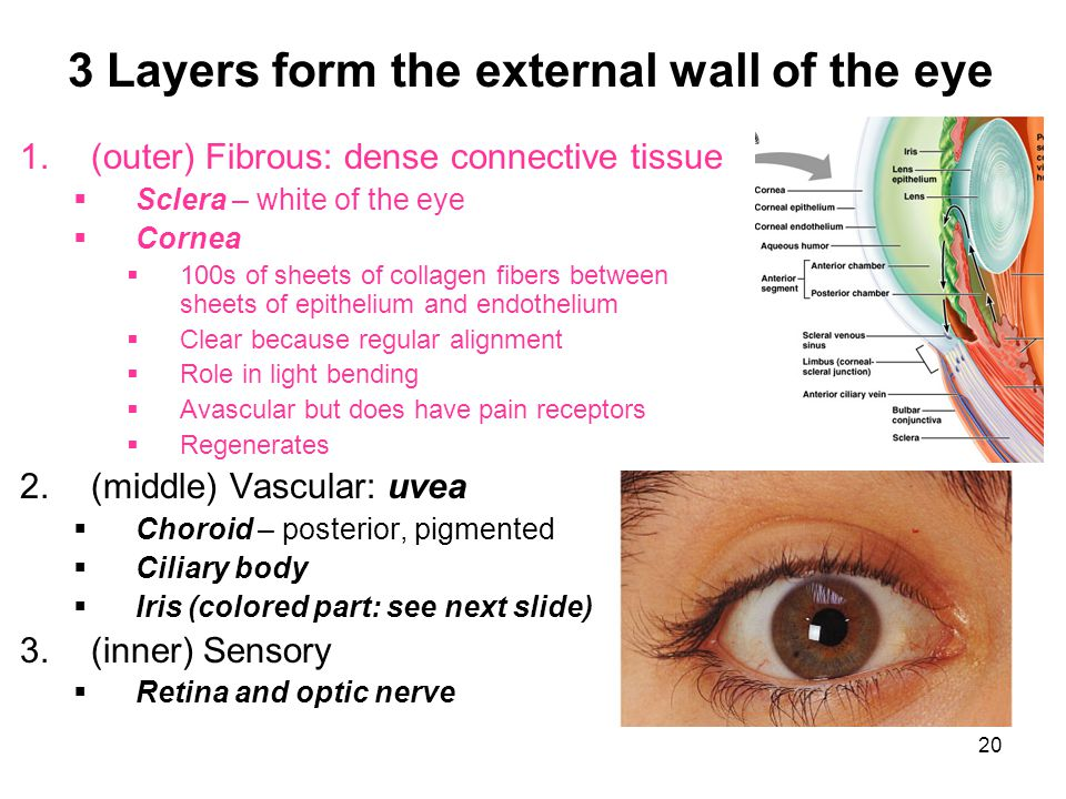 3 Layers form the external wall of the eye