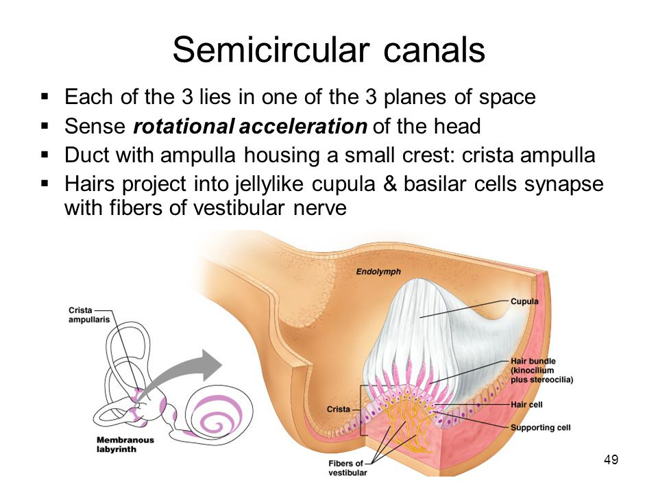 Semicircular canals Each of the 3 lies in one of the 3 planes of space