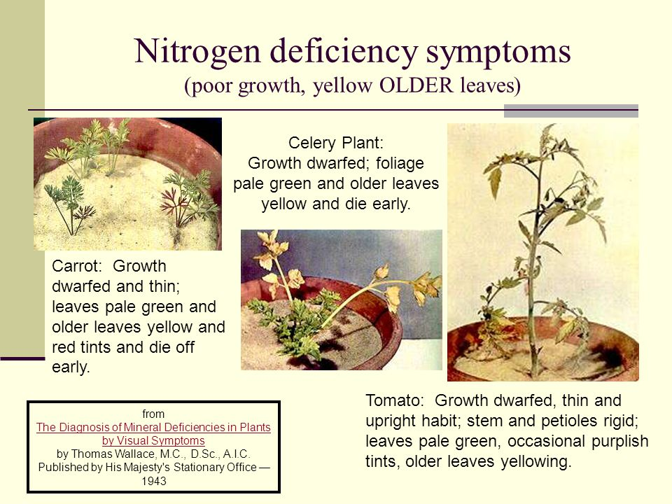 Nitrogen deficiency symptoms (poor growth, yellow OLDER leaves)