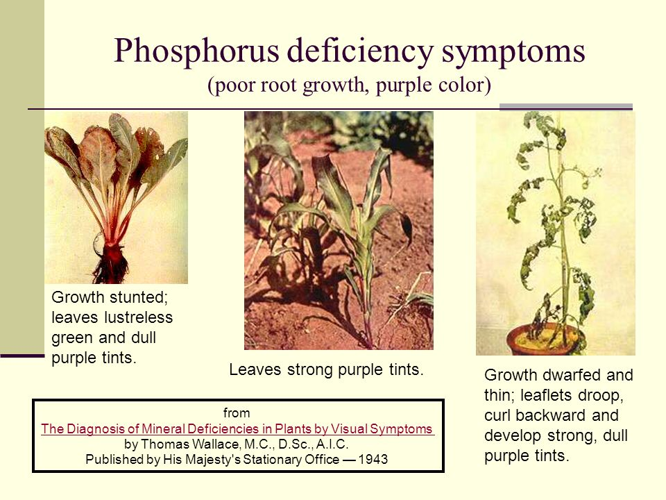 Phosphorus deficiency symptoms (poor root growth, purple color)