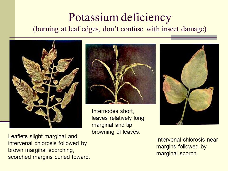 Potassium deficiency (burning at leaf edges, don't confuse with insect damage)